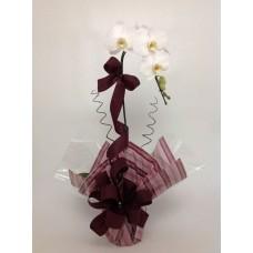 Orquídea Princesa