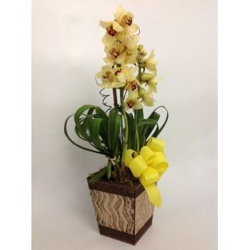 Orquídea  Raio de Sol