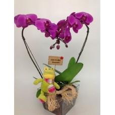Orquídeas Phalaenopsis Lindo Amor