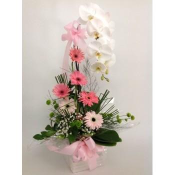 Orquídea Gala