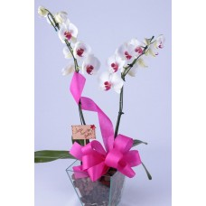 Orquídea Charme