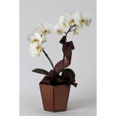 Orquídea Carinho