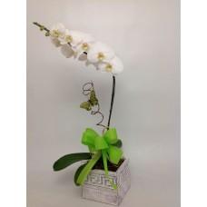 Orquídea Paz
