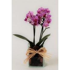 Mini Orquídea Sonho Lindo