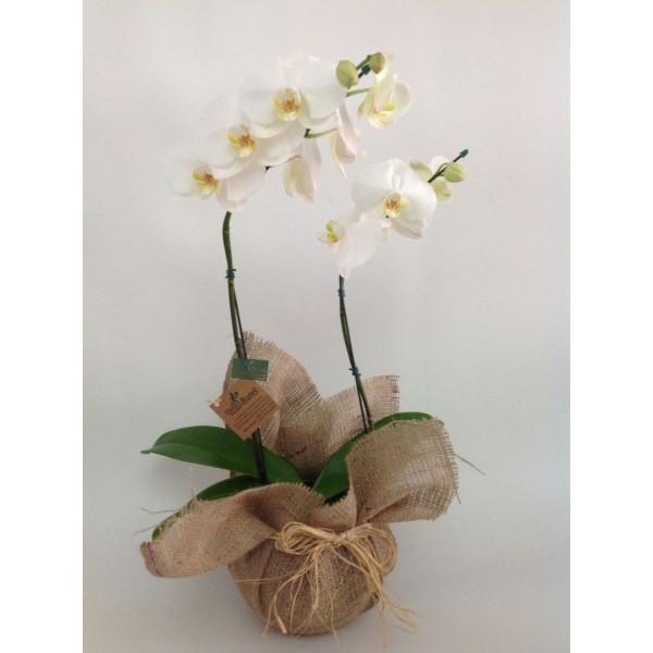 Orquídea Phalaenopsis Sublime